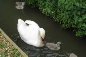 At the swannery in Spring