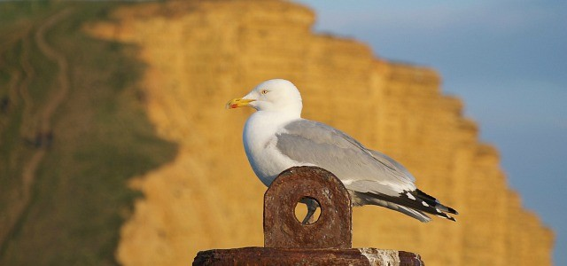 Seagull and cliffs