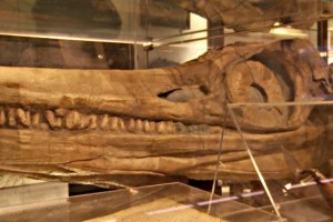 Copy of Ichthyosaur skull displayed in Lyme Regis museum